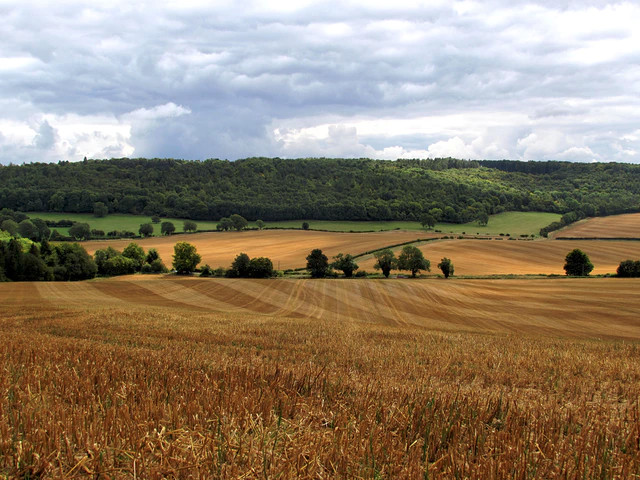 View across wheat field looking at woods